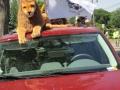 Lions pics 2012 069
